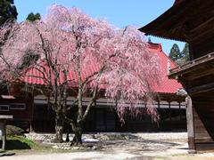 檜山桜まつり